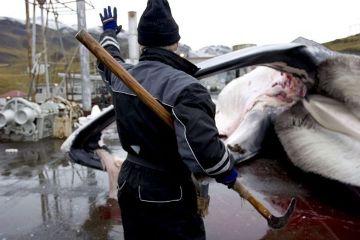 Исландия прекращает китобойный промысел (360x240, 18Kb)