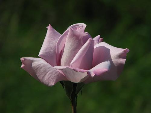 сиреневая роза (500x375, 28Kb)