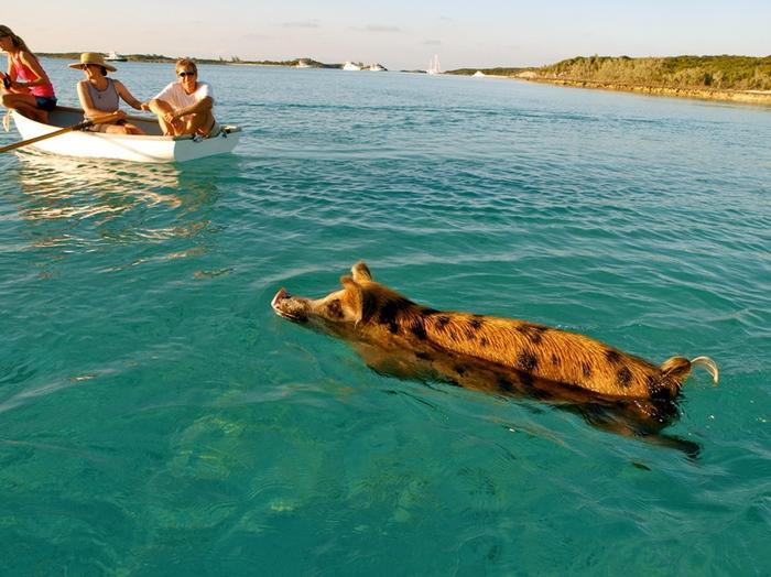Свиньи в воде-1 (700x524, 192Kb)
