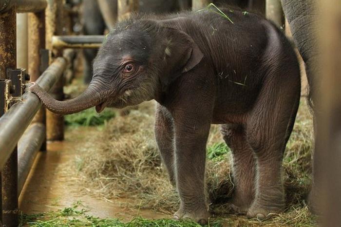 Индийский слоненок (1) (700x466, 55Kb)