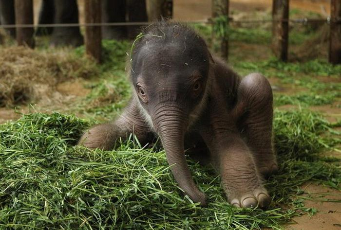 Индийский слоненок (5) (700x473, 64Kb)