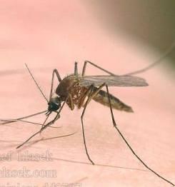 комар (245x262, 7Kb)