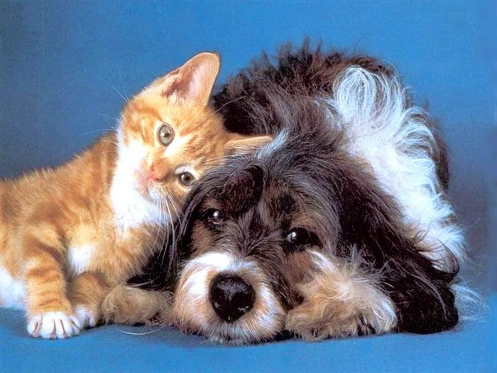 Купить котенка вискас вислоухий в Симферополе.