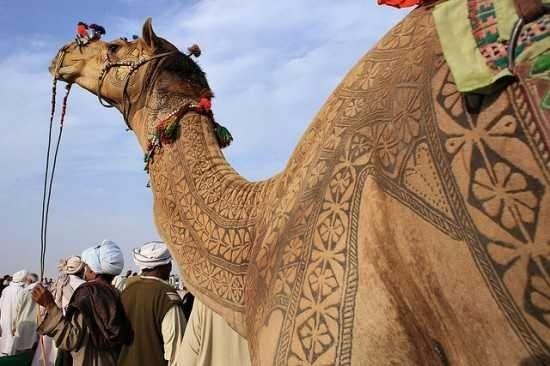 верблюд (550x366, 101Kb)