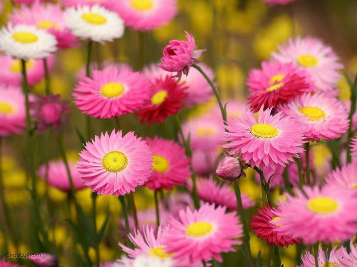 Цветы в розовом цвете. Обсуждение на LiveInternet - Российский Сервис Онлайн-Дневников