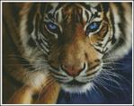 Превью Тигр голубоглазый (606x480, 322Kb)