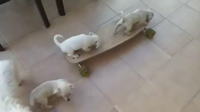 щенки на скейте/3518263_25467534 (640x360, 18Kb)