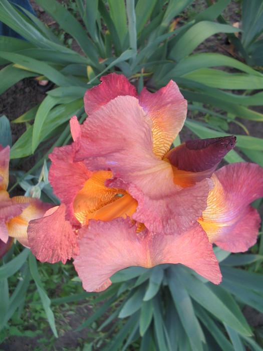 Цветы0013 (525x700, 94Kb)