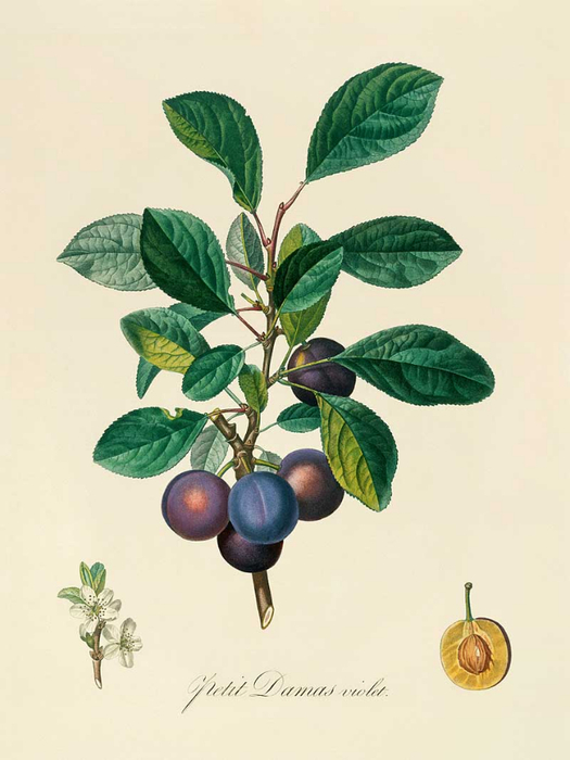 92_PLUMS_enl (525x700, 224Kb)
