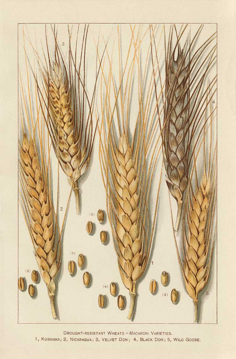 98_WHEAT_enl (459x700, 363Kb)