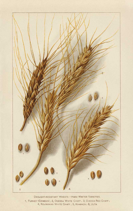 99_WHEAT_enl (442x700, 326Kb)