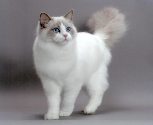 Порода котов тряпичная кукла