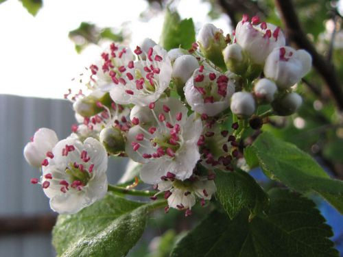 цветы-боярышника (500x375, 33Kb)