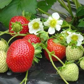 Petit_creux_fleur_fraise-003 (270x270, 30Kb)