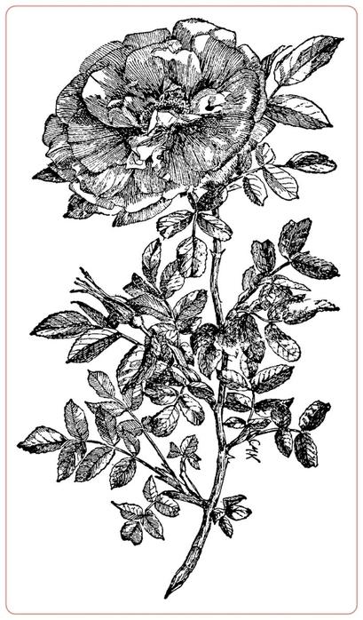 rosev (2) (409x700, 164Kb)
