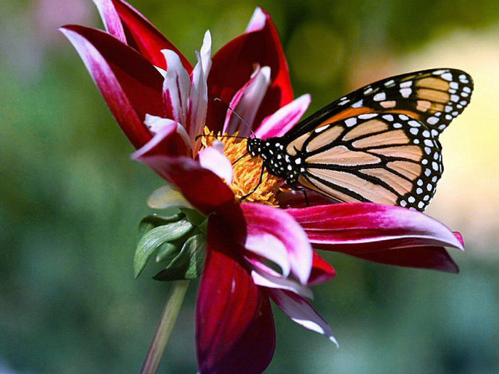 бабочка (700x525, 93Kb)