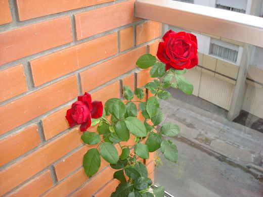 Выращивание розы на балконе 54