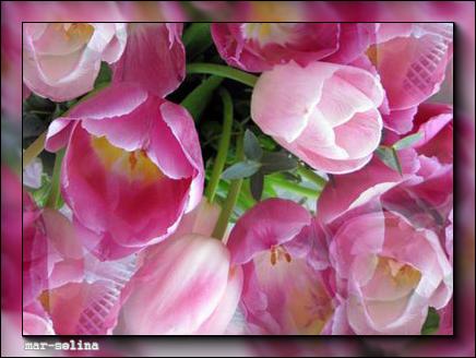 Тюльпаны (436x328, 209Kb)