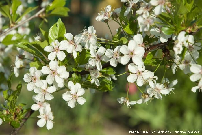 Цветы вишни/2061908_DSC_8352 (700x468, 274Kb)
