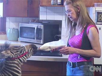 Зебра в баре Айова (340x255, 24Kb)