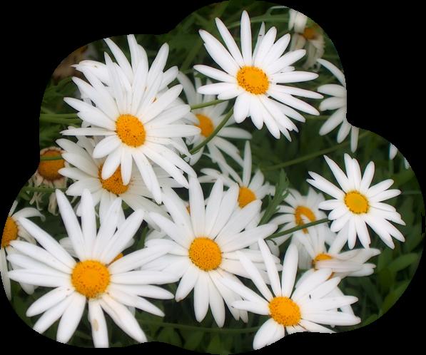 4360286_80696747_ROMASHKI_ot_Lyudochki (597x498, 450Kb)