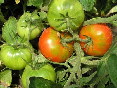 tomat_0 (400x300, 27Kb)