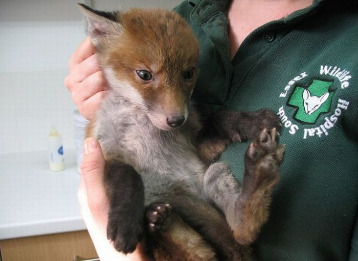 fox_caked_in_mud_rescued_from_hole_03 (700x512, 52Kb)