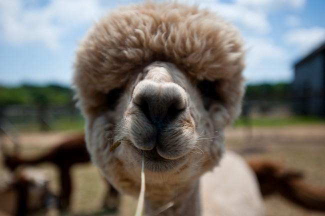 Смешные фото домашних животных - альпака 1 (650x432, 55Kb)