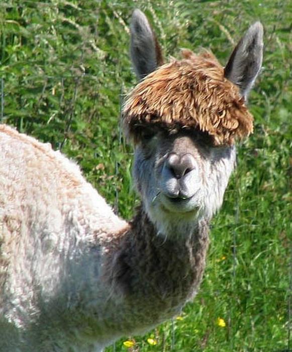 Смешные фото домашних животных - альпака 4 (581x700, 125Kb)