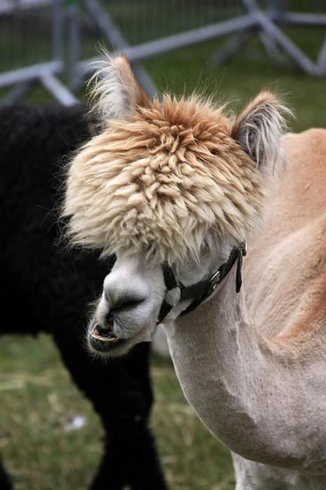 Смешные фото домашних животных - альпака 6 (465x700, 266Kb)