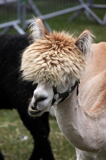Смешные фото домашних животных - альпака 8 (422x634, 42Kb)