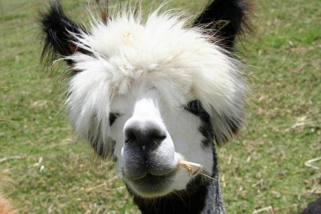 Смешные фото домашних животных - альпака 10 (650x434, 87Kb)
