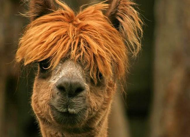 Смешные фото домашних животных - альпака 11 (650x469, 85Kb)