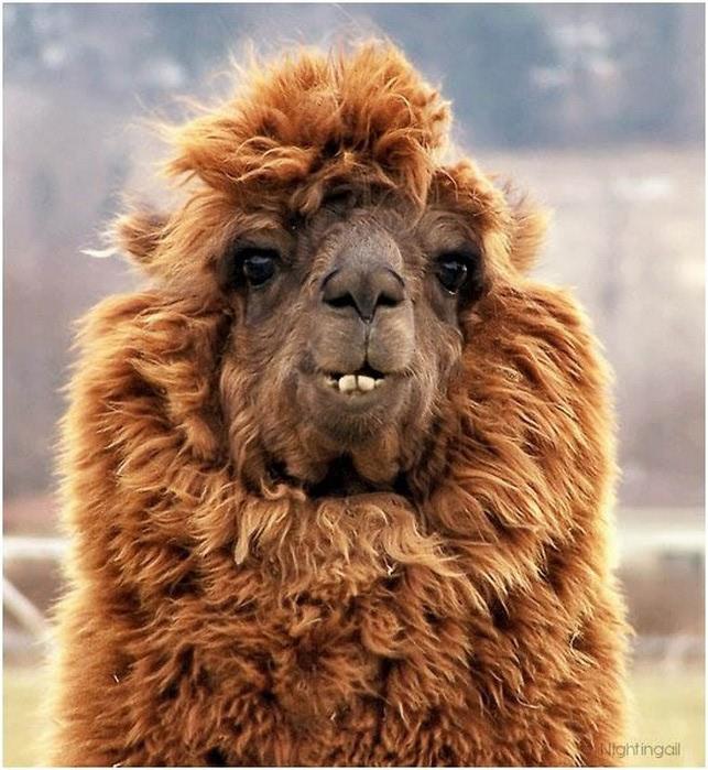 Смешные фото домашних животных - альпака 12 (643x700, 133Kb)