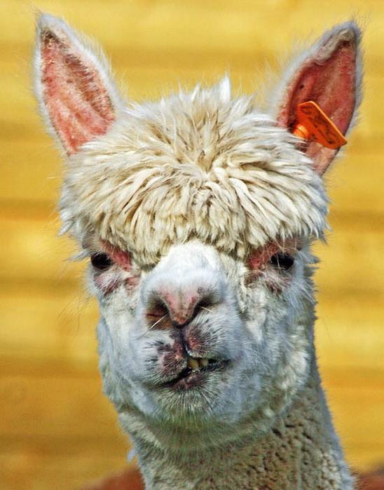 Смешные фото домашних животных - альпака 14 (548x700, 105Kb)