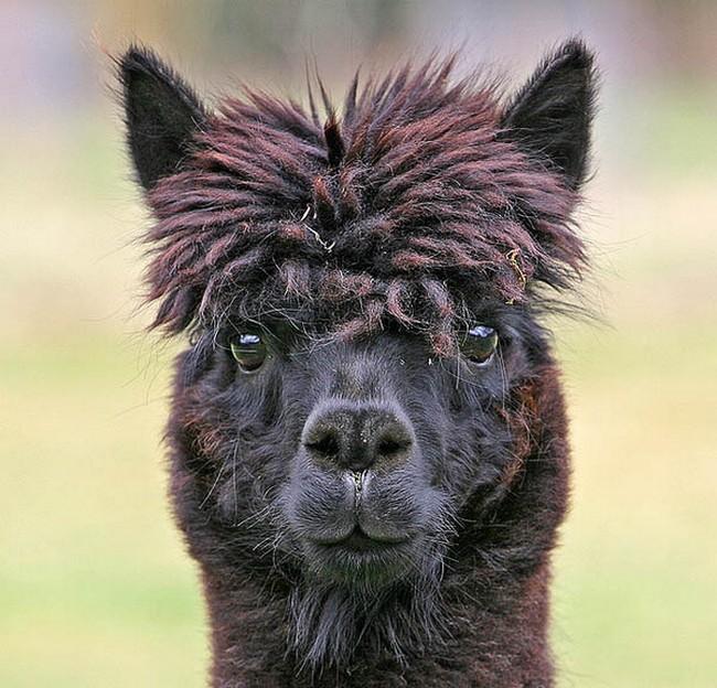 Смешные фото домашних животных - альпака 16 (650x624, 139Kb)