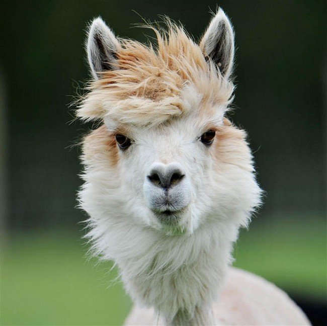 Смешные фото домашних животных - альпака 21 (650x648, 89Kb)