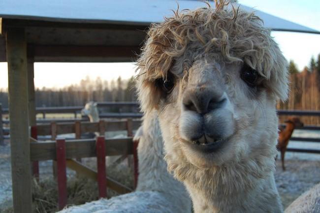 Смешные фото домашних животных - альпака 23 (650x432, 83Kb)