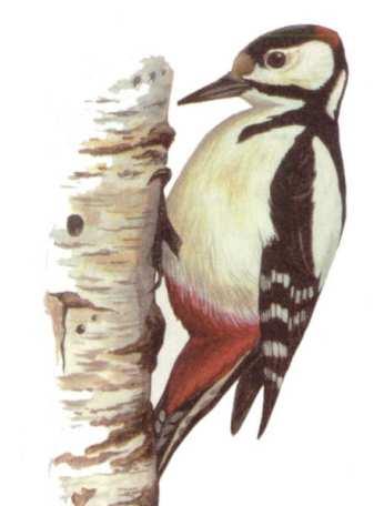 Фото 21 - Лесные птицы - Птицы леса 2.