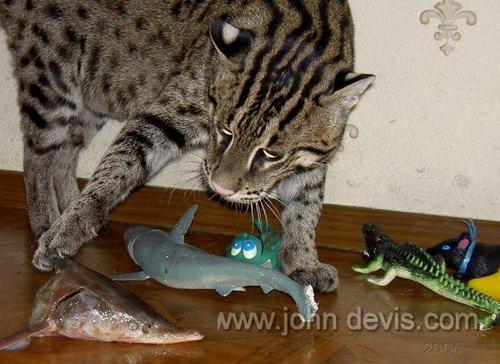 кот рыболов лапы