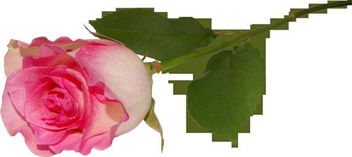 rosa1 (500x223, 125Kb)