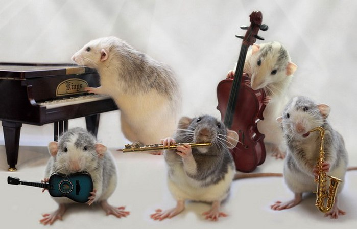 смешные крысы фото (700x448, 51Kb)