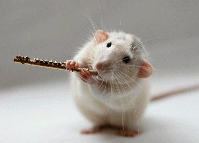смешные крысы фото 2 (700x501, 39Kb)