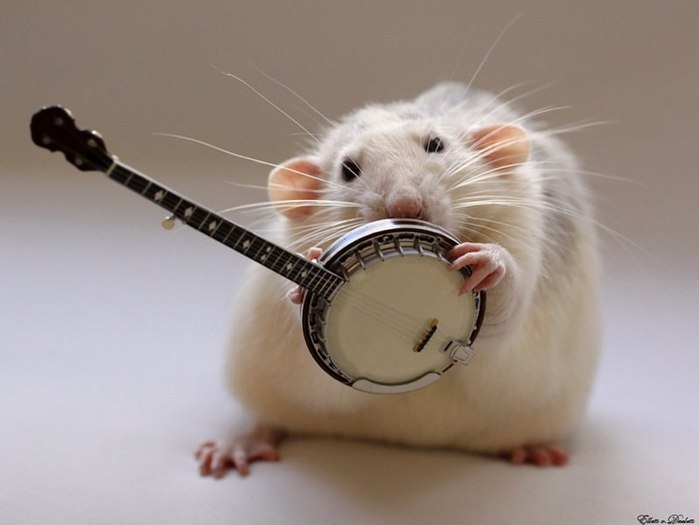 смешные крысы фото 6 (700x525, 40Kb)