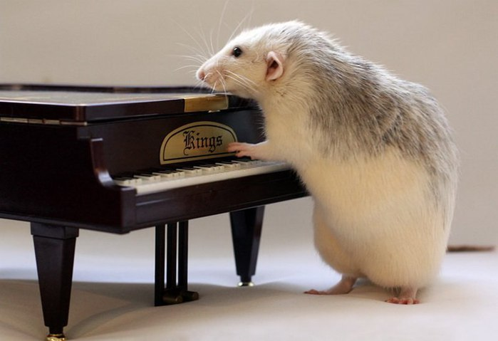 смешные крысы фото 8 (700x479, 45Kb)