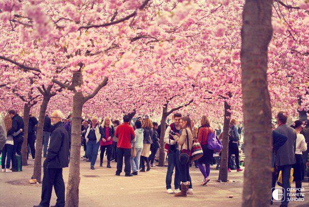 Цветение сакуры в Кунгстрэдгордене («Королевский сад») — парке в центре Стокгольма, Швеция (604x404, 81Kb)