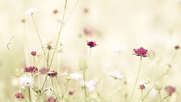 белые цветы,обои (700x393, 201Kb)