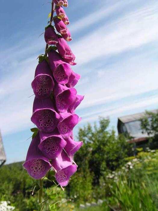 Цветок на длинном стебле с колокольчиками