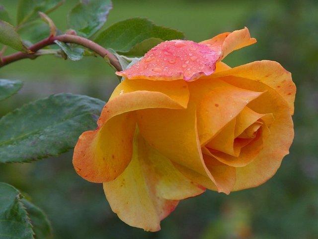 Роза чайная прекрасная! (640x480, 41Kb)