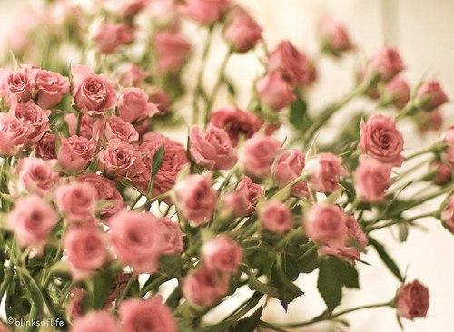 картинки,розы,нежность,розовый (500x366, 49Kb)